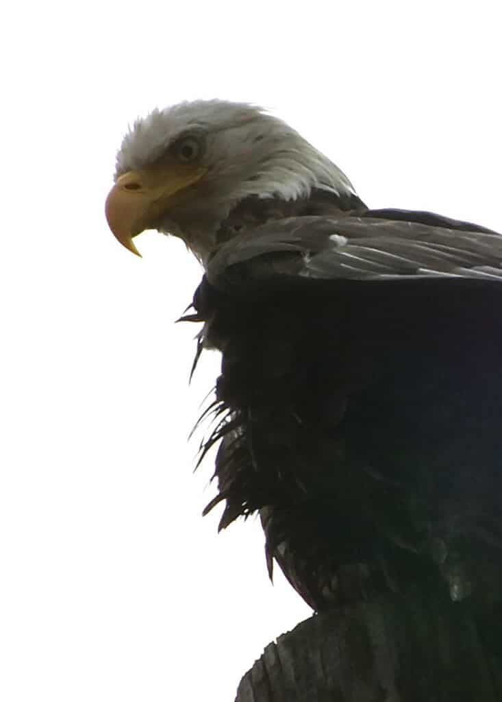 East Falls Eagle