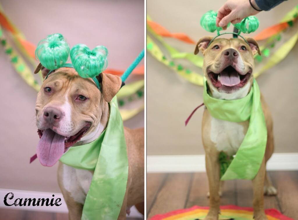 Eastfallslocal.Pinups for Pitbulls.Cammie Collage