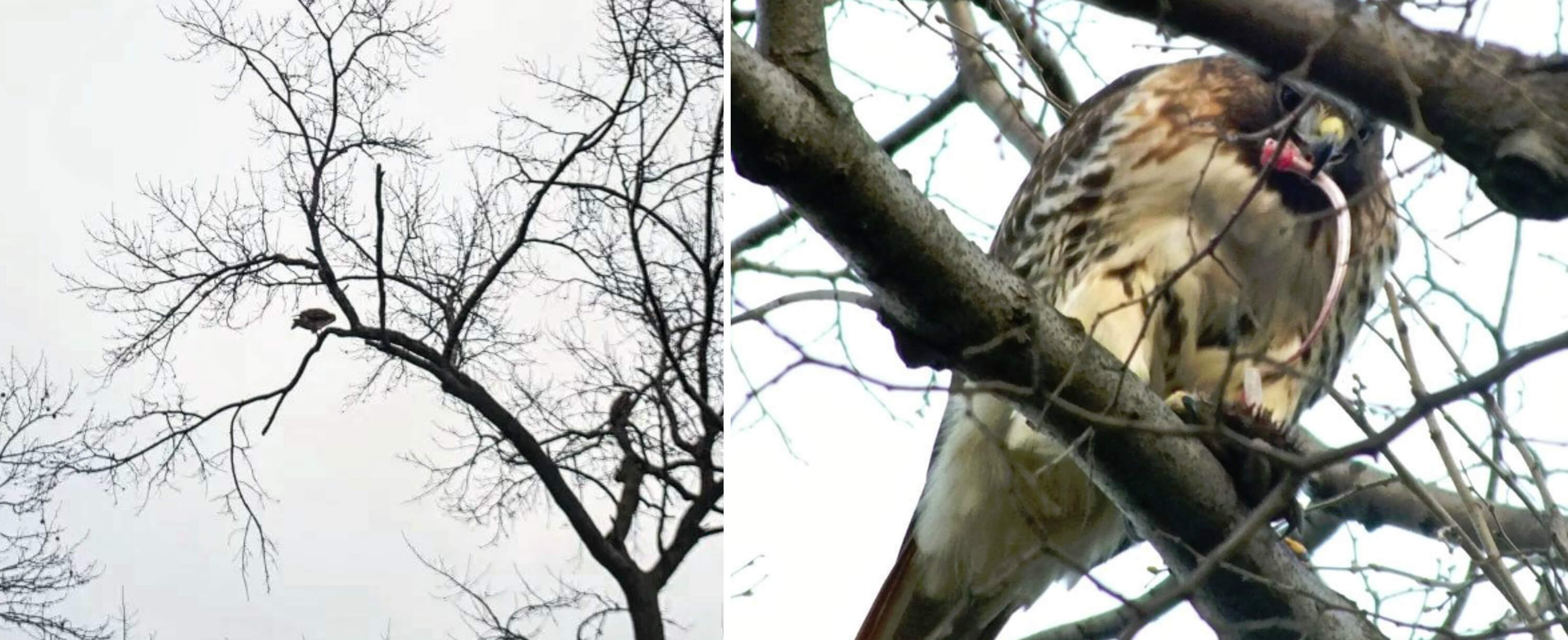 Eastfallslocal hawks eat rat tree collage