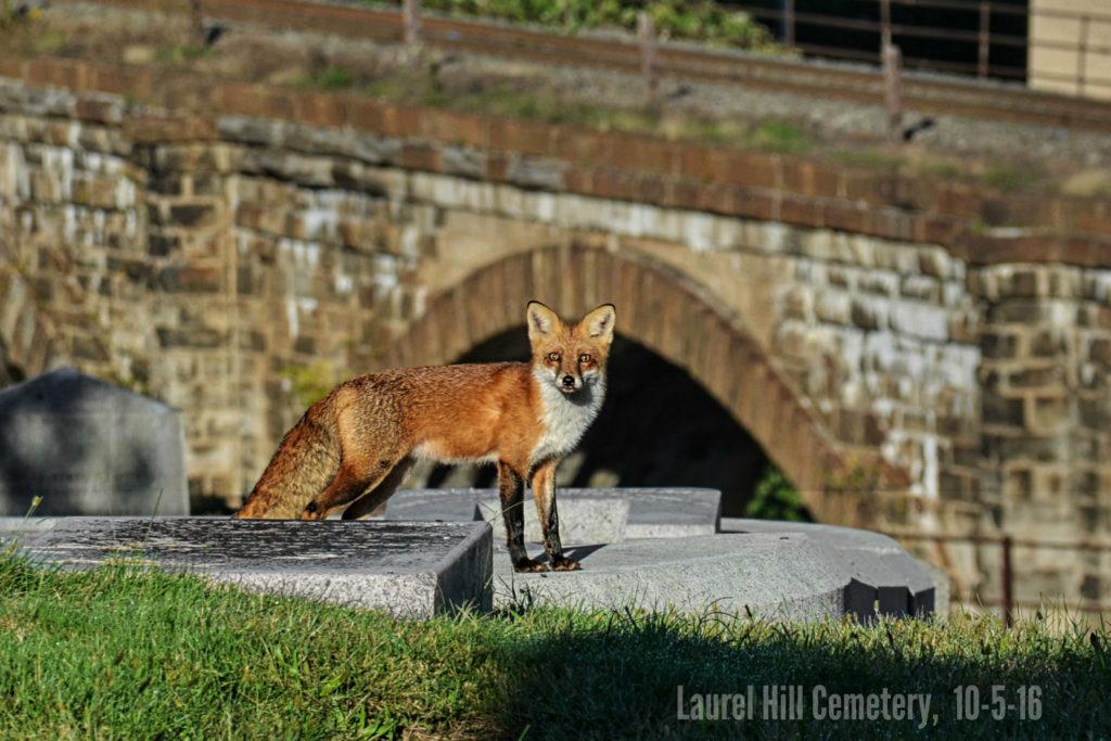eastfallslocal-10-5-laurel-hill-fox-by-skew-bridges-8-sharp-auto-zoom-super-again-txt-cemetery-name