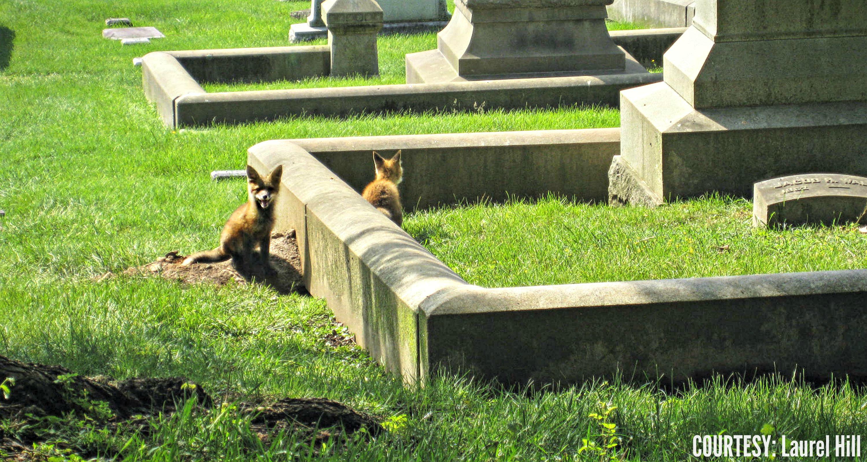 EastFallsLocal baby fox resize courtesy lh