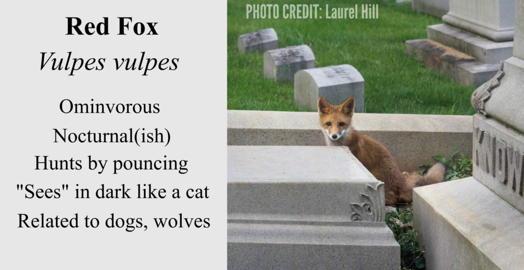 EastFallsLocal fox in the graveyard POST LAUREL HILL
