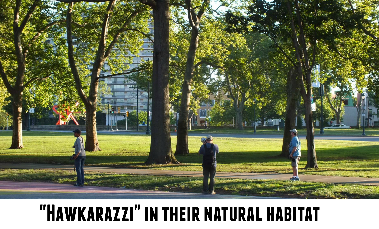 EastFallsLocal hawkarazzi in their natural habitat