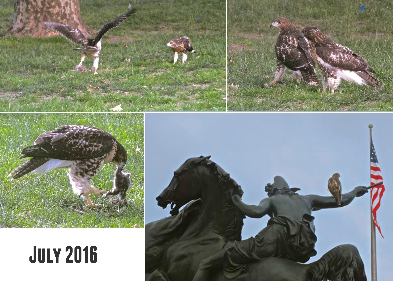 EastFallsLocal hawks collage july 2016