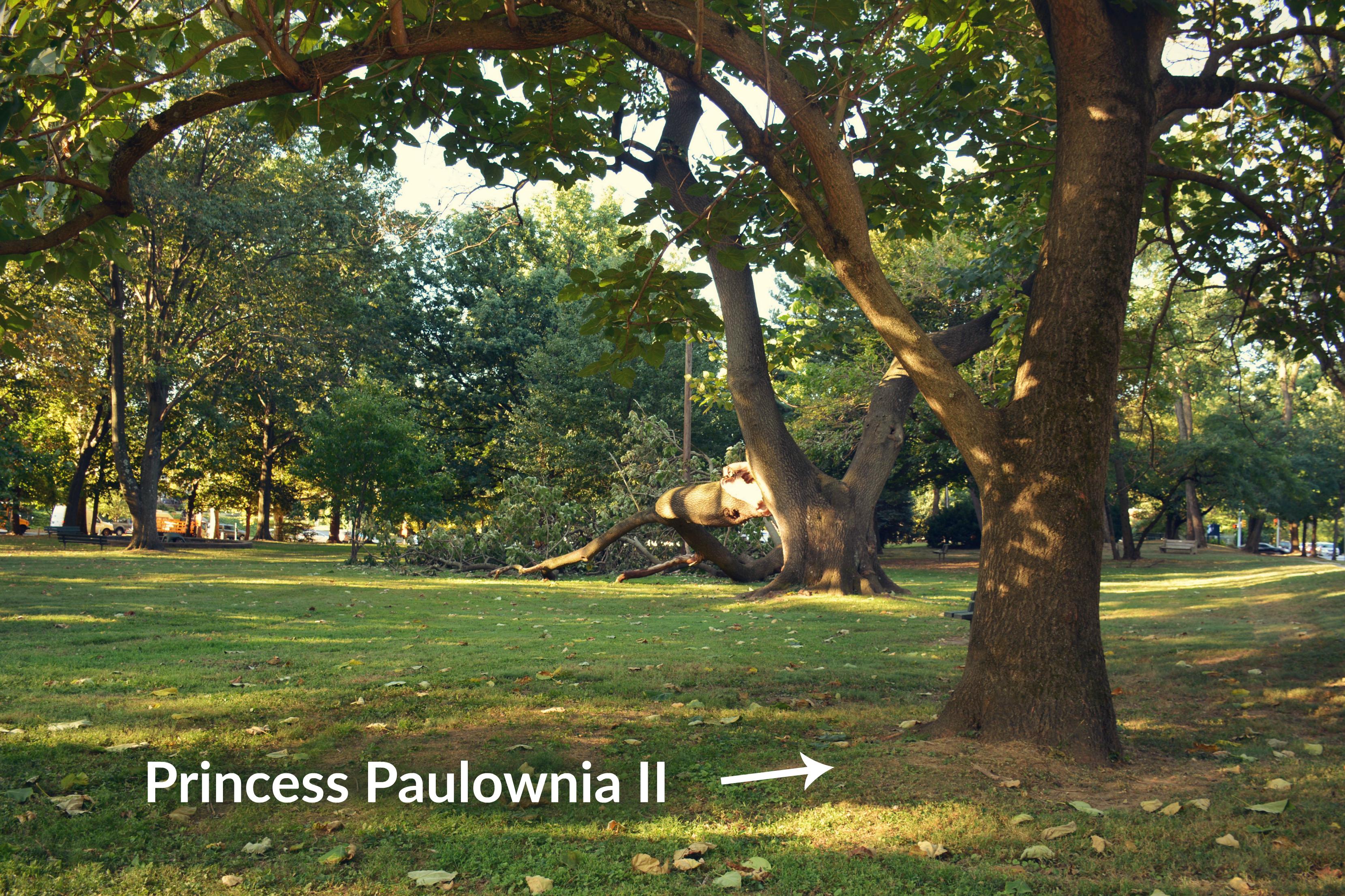 eastfallslocal-9-15-mcmichael-tree-down-paulowania-offspring-txt
