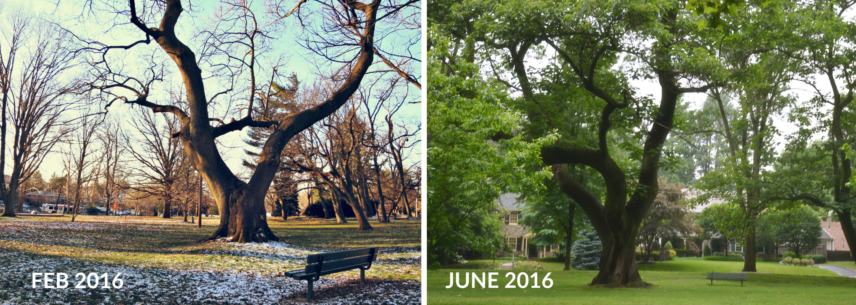 eastfallslocal-paulowania-tree-collage